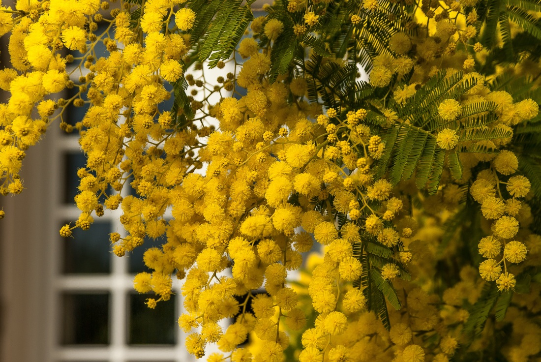 Mimosa - foto di jacqueline macou da Pixabay 3699x2476